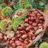 Καστανογιορτή στη Δαμασκηνιά Βοϊου (βίντεο)